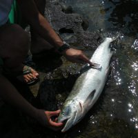 鮭のさばき方 鮭を捌く、鮭のウロコを丁寧に引く