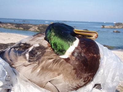 七輪ジビエBBQの食材、天然の鴨