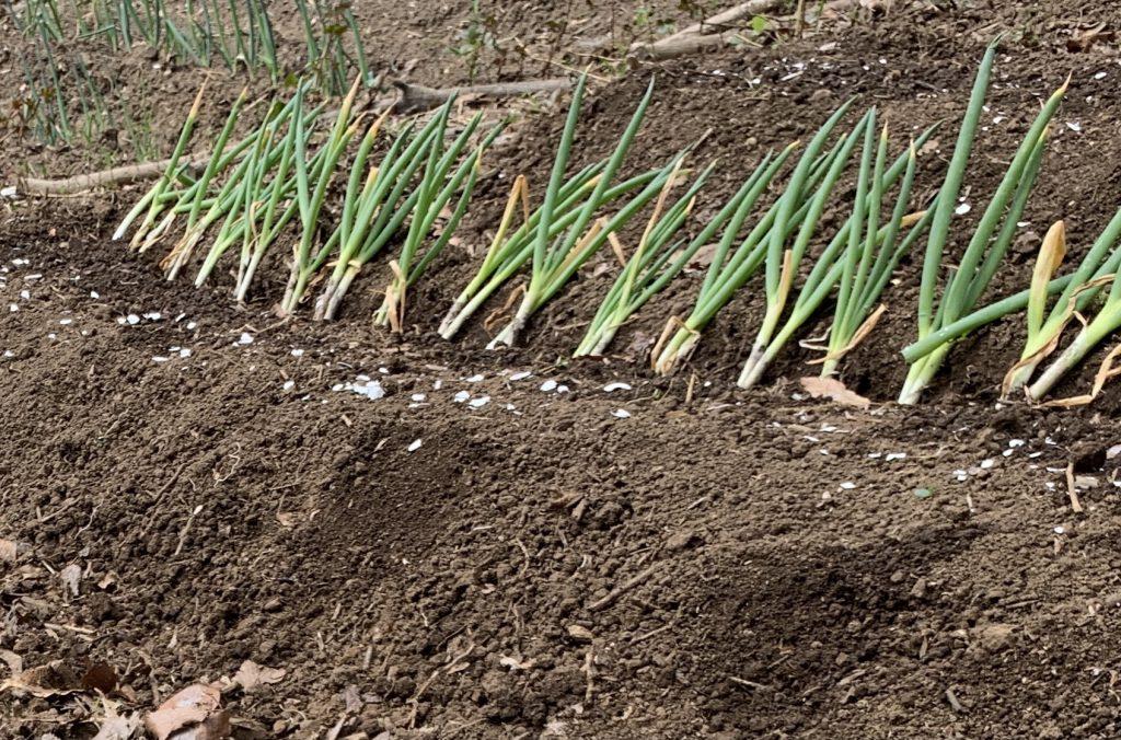 長ネギの植え替え 株分けして長ネギを増やす