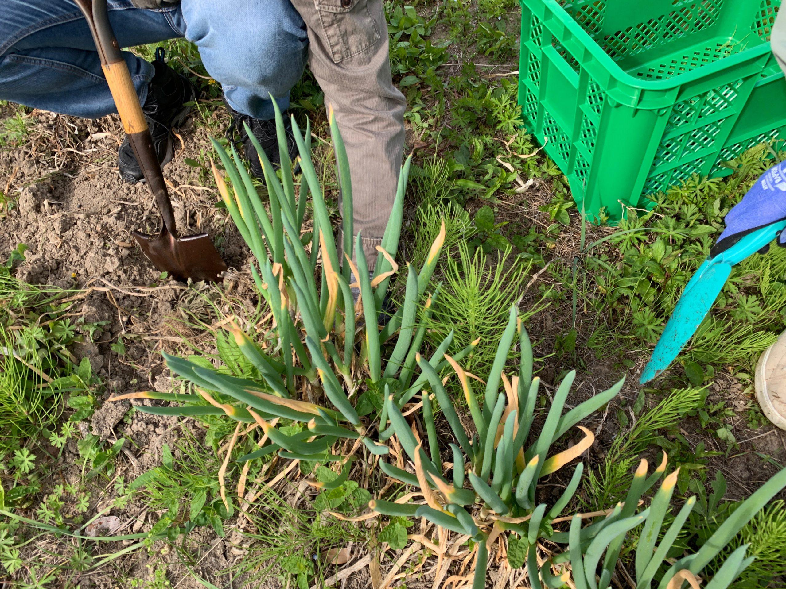 長ネギの植え替え 株分けして長ネギを増やす 掘り起し